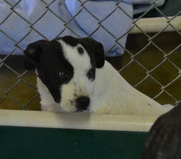 Puppys Playpen American Bulldog Mix White With Black Markings